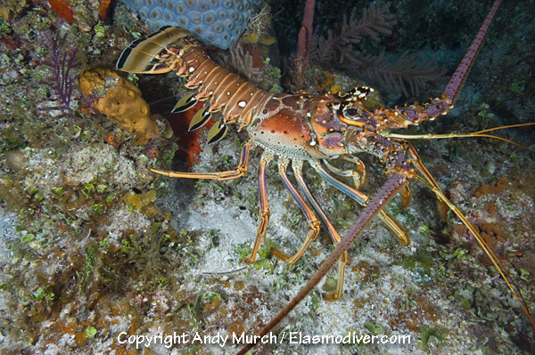 Caribbean Spiny Lobster