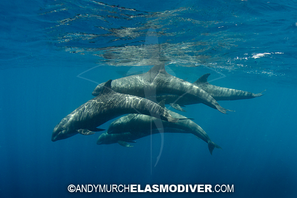 Dolphin Melon: Images Of Peponocephala Electra