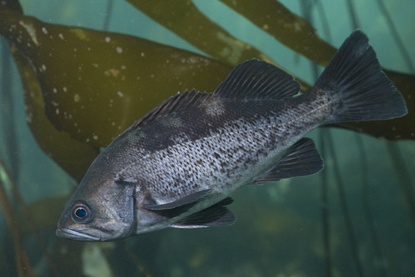 Pictures of black rockfish sebastes melanops images for Rock n fish