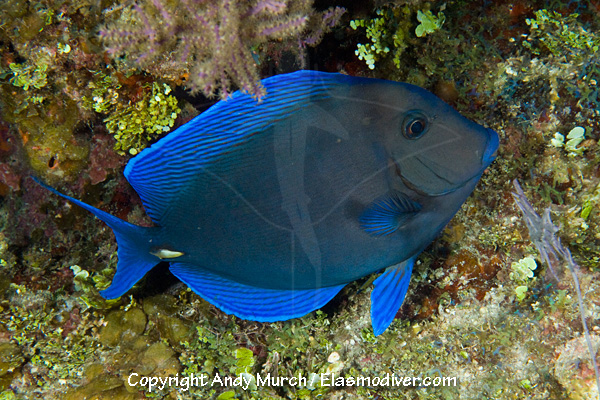 Blue tang pictures images of acanthurus coeruleus for Blue tang fish facts