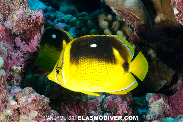 Fourspot Butterflyfish