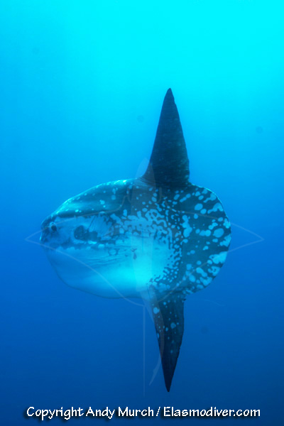 Ocean sunfish pictures images of mola mola for Mola mola fish