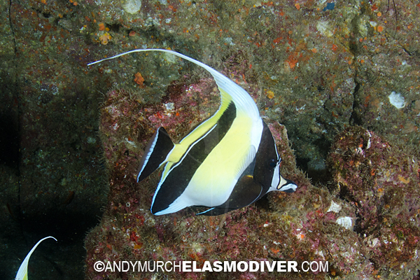 These Moorish Idol pictures are available for commercial licensing ...