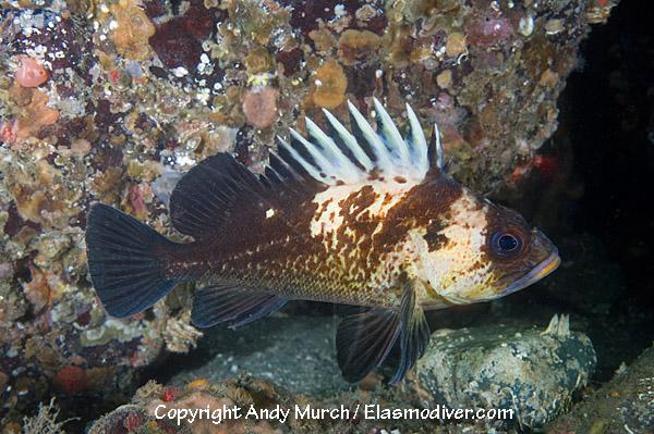Pictures of Quillback Rockfish - Sebastes maliger