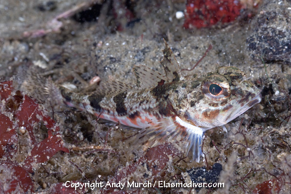 Roughback Sculpin