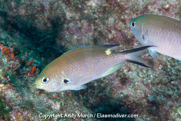 Scissortail Damselfish