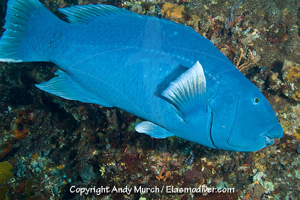 BLUE GROPER AND PARROT FISH EATING SEA URCHIN ... - YouTube
