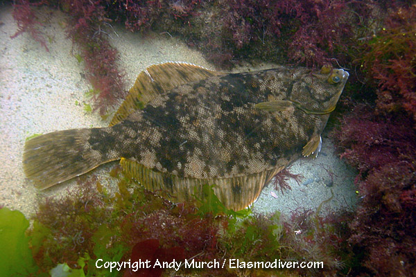 Winter flounder pictures images of pseudopleuronectes for Winter flounder fishing