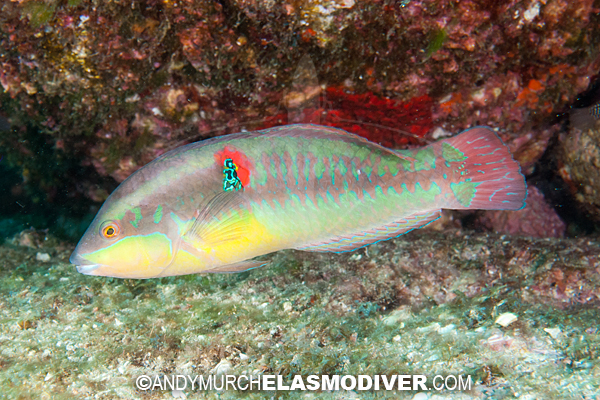 Wounded Wrasse