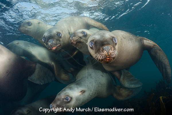 dive with steller sea lions