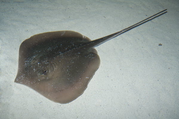 Atlantic%20Stingray%20100.jpg