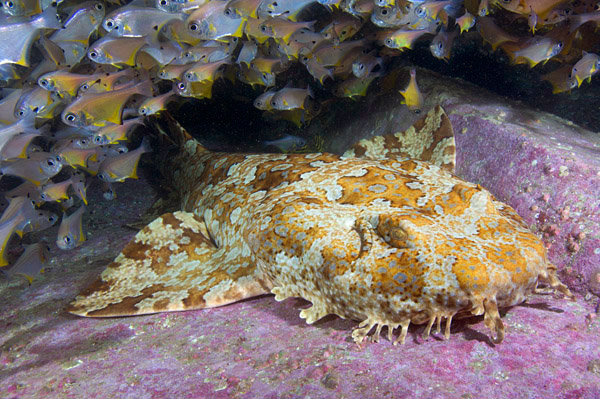 banded wobbegong shark with bullseyes.