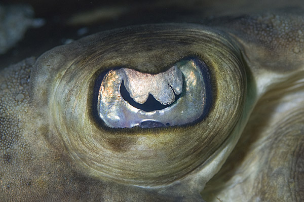 banded guitarfish eye