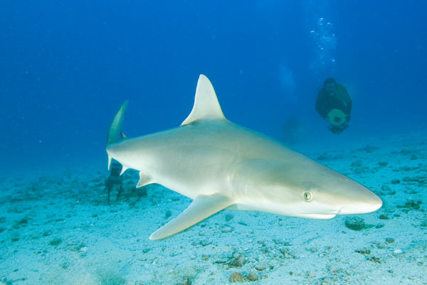blacknose shark pictures