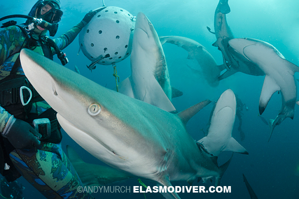 blacktip shark feed