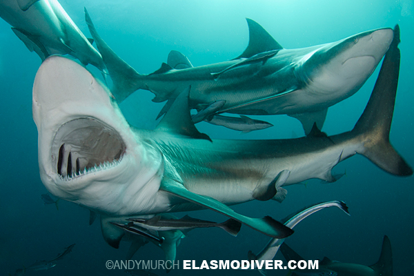 Blacktip Shark Pictures. Images of Carcharhinus limbatus