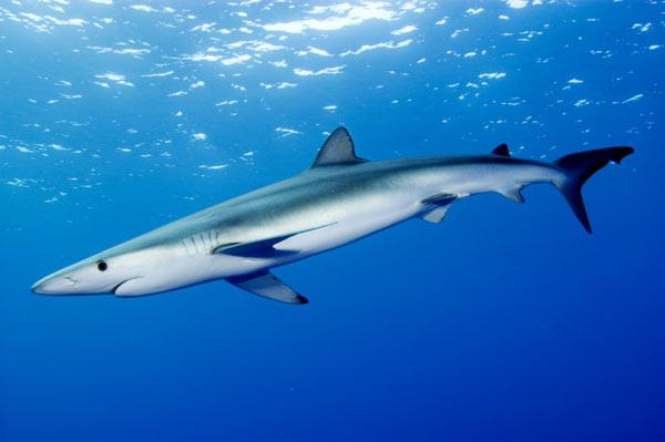 http://www.elasmodiver.com/Sharkive%20images/Blue-shark-028.jpg