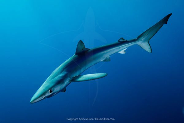 blue shark archivl print