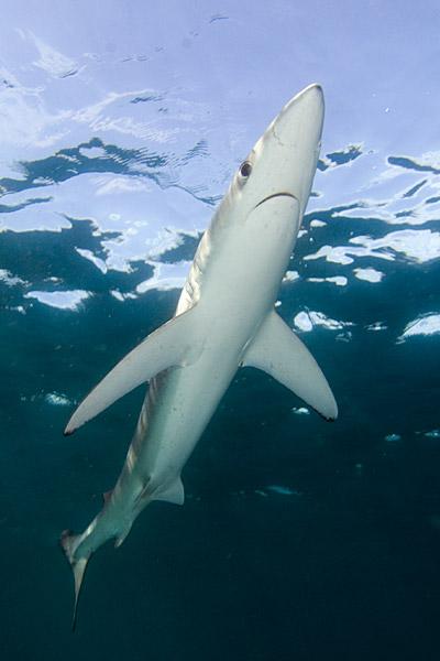 صور سمكة القرش الازرق