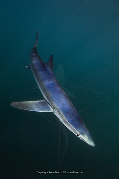 blue shark in emerald green water