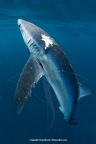 blue shark with ragged torn skin