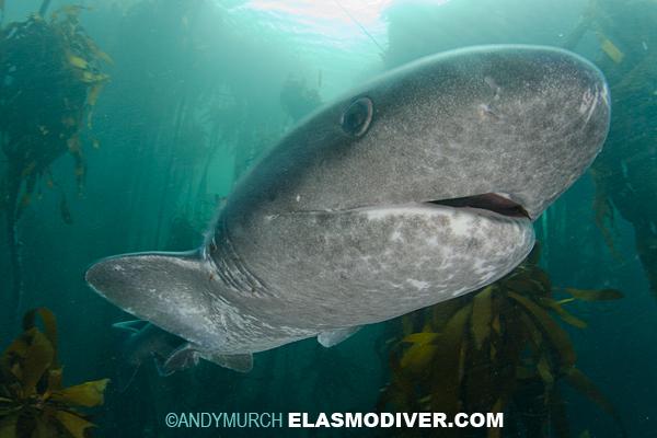 Broadnose Sevengill Shark Pictures - Notorynchus cepedianus ImagesBroadnose Sevengill Shark