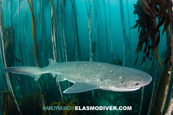 Broadnose Sevengill Shark Diving