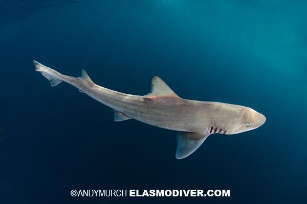 Smooth hound shark aquarium