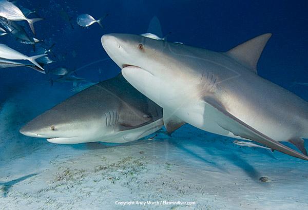 .::El tiburón sarda::. BullShark027