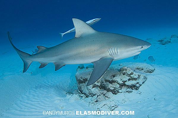Grey reef shark vs bull shark - photo#24