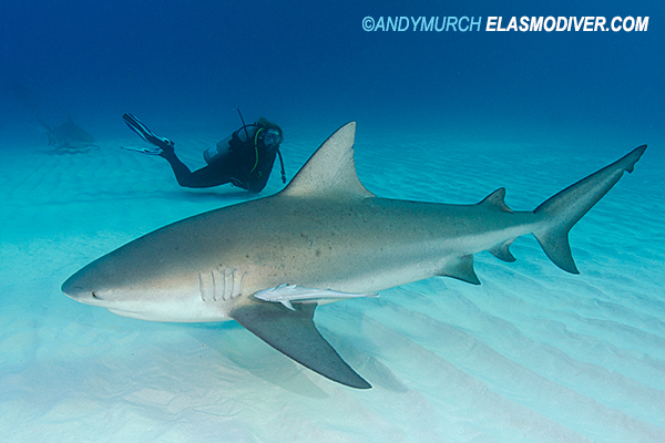 Diver with a large bull shark
