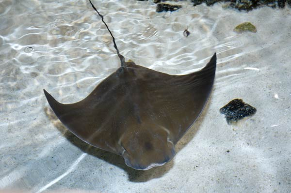 Atlantic cownose ray