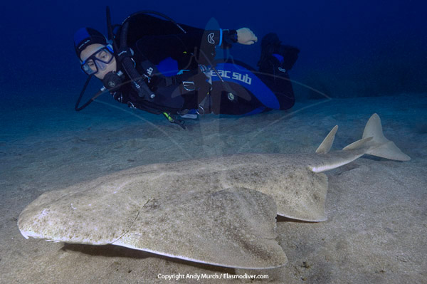 Diver with Common Angel Shark