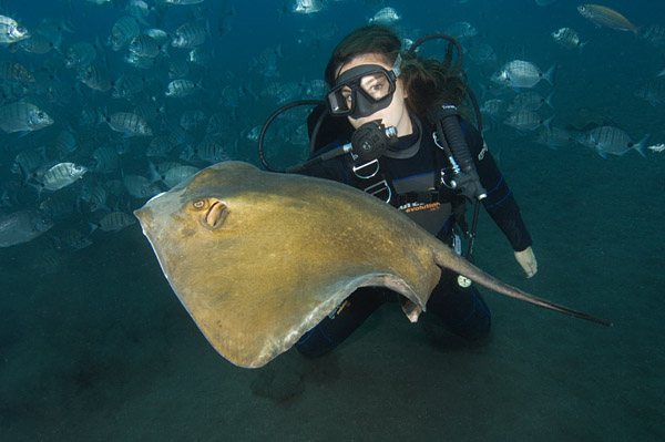 Common Stingray Pictures. Images of Dasyatis pastinaca ...
