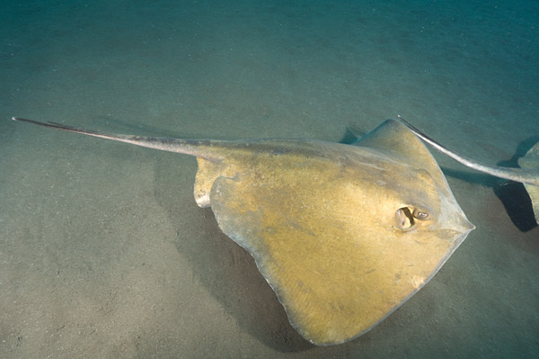 Common Stingray Dasyatis pastinaca
