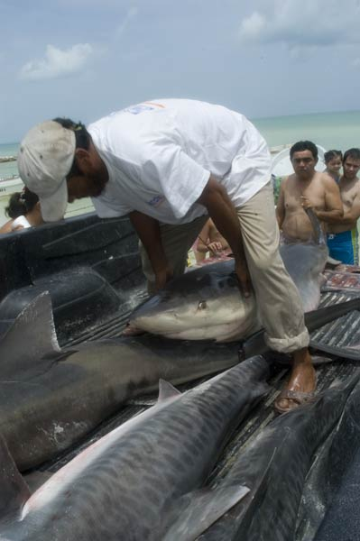 Fisherman loading dead sharks picture