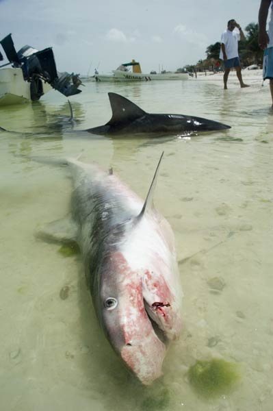 dead tiger shark picture