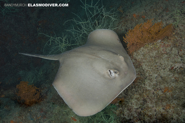 Diamond Stingray Pictures