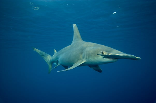 Great Hammerhead Shark Pictures