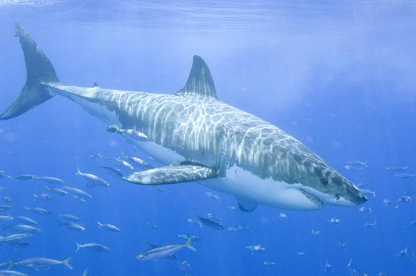 GREAT WHITE SHARK - Shark & Ray Central
