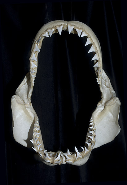 Great white shark jaws size