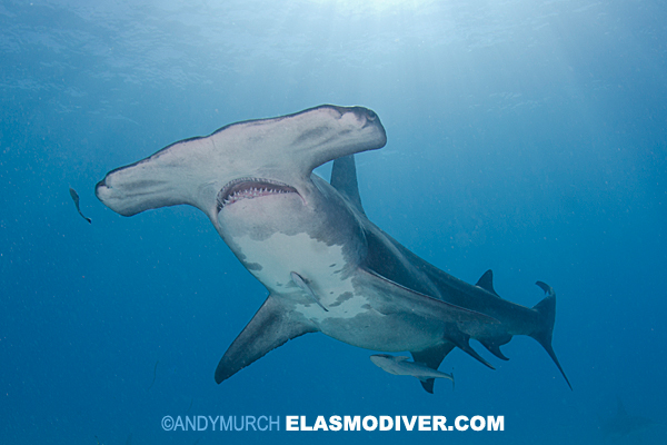 A large hammerhead