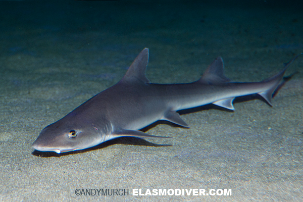 Grey Smoothhound Shark