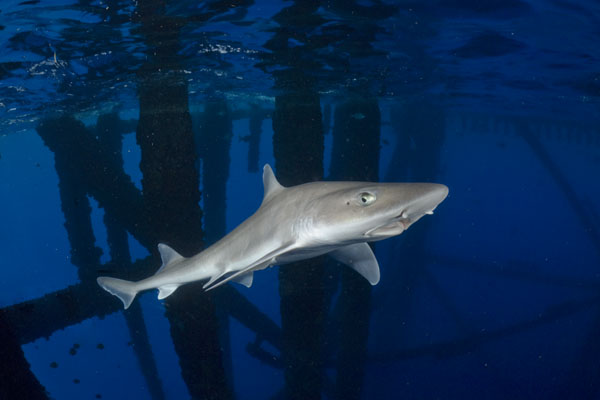 gulf of smoothhound shark pictures images of the gulf  gulf of smoothhound shark pictures images of the gulf smoothhound mustelus sinusmexicanus