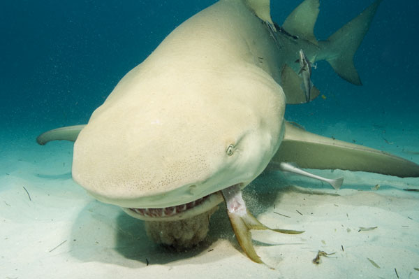 http://www.elasmodiver.com/Sharkive%20images/Lemon-shark-(53).jpg