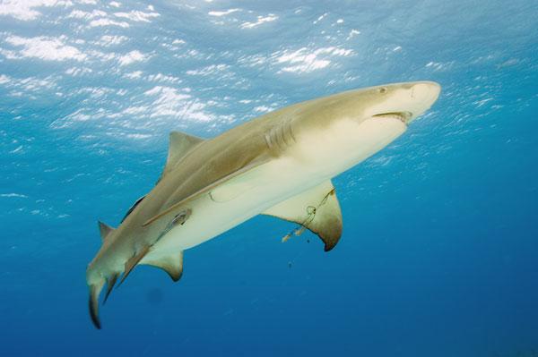 Lemon Shark 18