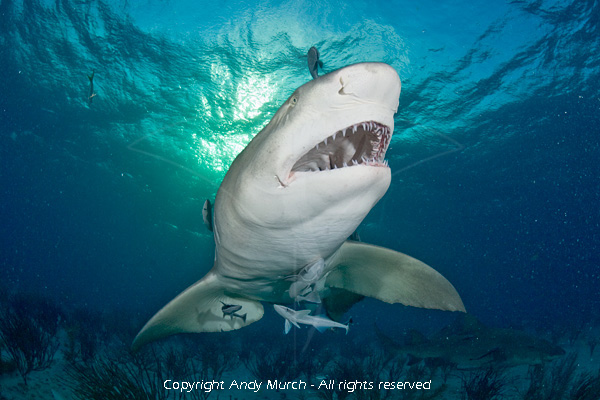 Lemon shark print