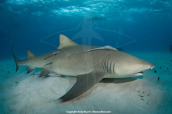 Lemon Sharks, Negaprion brevirostris ~ MarineBio.org