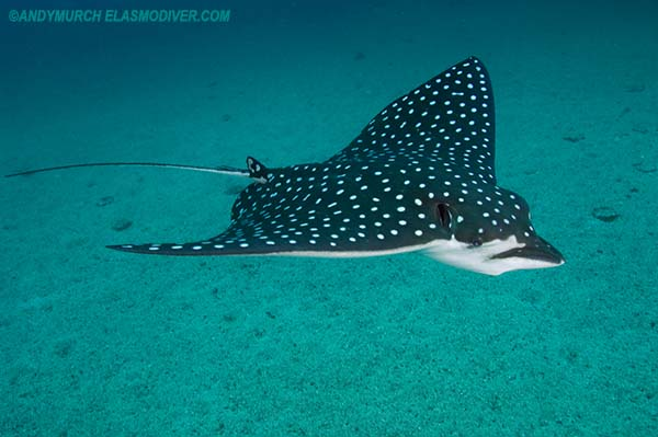 Pacific spotted eagle ray