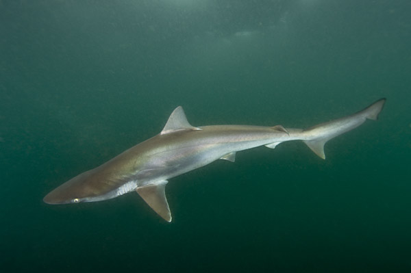 Images of Pacific sharpnose sharks caught on Longlines.